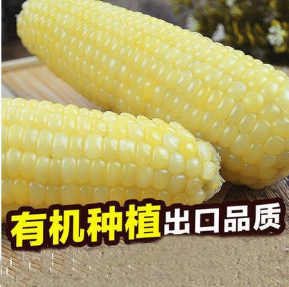 4斤新鲜有机甜糯玉米棒  粘糯米棒黏