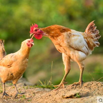 正宗散养土鸡  老母鸡  农家公鸡  乌鸡草鸡  笨鸡  走地鸡