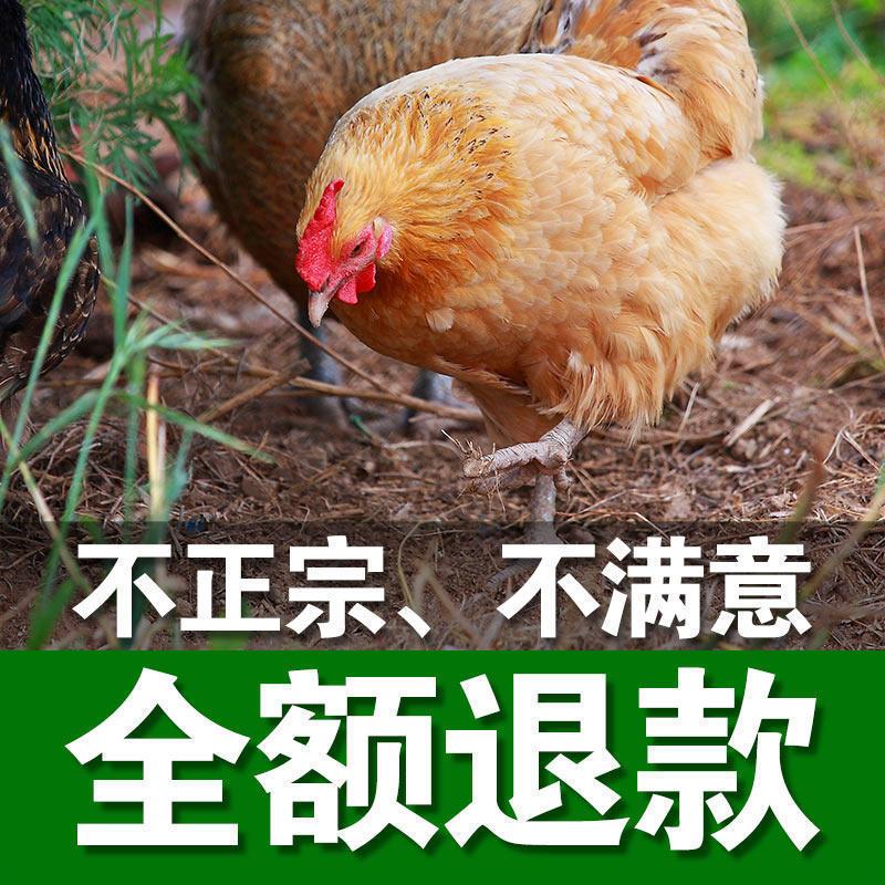 湖南祁东散养老母鸡土鸡山林放养原生态无污染无激素足年营养农产品