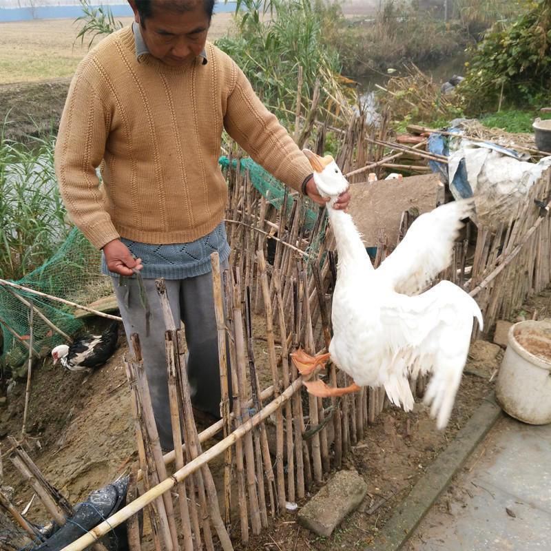 【5.5斤】鹅肉农家散养 老鹅肉 大白鹅 新鲜现杀送鹅肝 顺丰包邮
