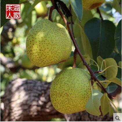 新鲜水果莱阳梨子5斤包邮 两件10斤批发 山东烟台慈梨