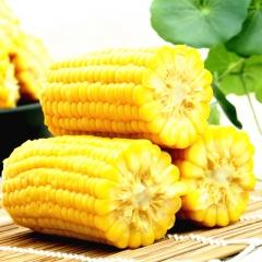 玉米神水果玉米棒包邮15根真空即食品鲜甜嫩非转基因东北特产苞米