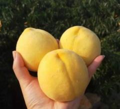 正宗湖南麻阳黄桃现摘现发当季新鲜水果高山黄桃5包邮