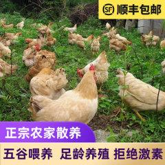 农家散养山林土鸡3只顺丰包邮