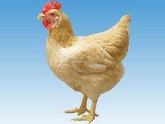 三黄鸡冷链现杀整只正宗农家散养土鸡童子鸡农村老母草鸡3只