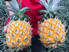 徐闻香水小菠萝9斤新鲜水果菠萝泰国品种金钻凤梨