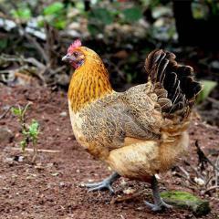 农家散养土鸡 湖南走地鸡 食五谷虫草乌骨鸡 营养月子鸡 笨鸡